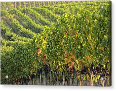 Vineyards In The Rolling Hills Acrylic Print by Terry Eggers