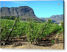Vineyards Of Franschoek, Cape Wine Acrylic Print