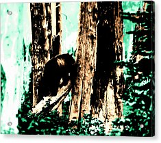 Vintage Bear In The Mount Rainier Forest Early 1900 Era... Acrylic Print