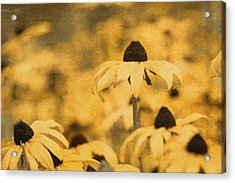 Acrylic Print featuring the photograph Vintage Black-eyed Susans by Peggy Collins