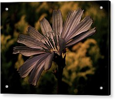 Vintage Chicory Acrylic Print by Tim Good