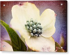 Acrylic Print featuring the photograph Vintage Dogwood Blossom by Trina  Ansel