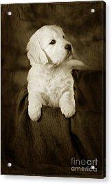 Vintage Golden Retriever Pup Acrylic Print by Angel  Tarantella