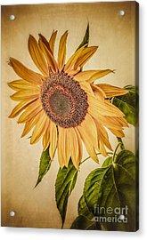 Vintage Sunflower Acrylic Print by Edward Fielding