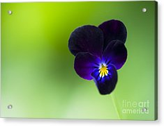 Viola Cornuta 'bowles Black' Acrylic Print by Tim Gainey