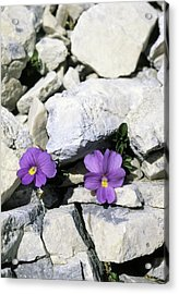 Viola Magellensis Acrylic Print by Bruno Petriglia/science Photo Library