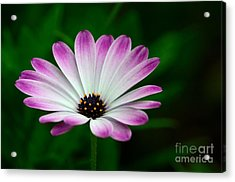 Violet And White Flower Petals With Yellow Stamens Blossoms  Acrylic Print by Imran Ahmed