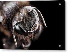 Violet Carpenter Bee Acrylic Print by Us Geological Survey