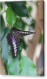 Violet Clipper Butterfly Acrylic Print