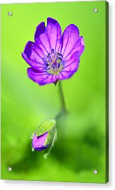 Violet Flame Acrylic Print