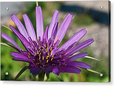 Violet Flower Acrylic Print by Carlos V Bidart
