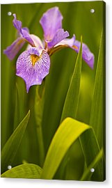 Violet Iris Acrylic Print by Phyllis Peterson