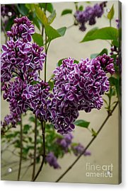 Violet Lilac Acrylic Print by Christiane Schulze Art And Photography