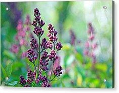 Violet Lilacs Budding Acrylic Print by Karon Melillo DeVega