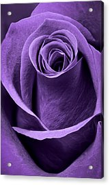 Violet Rose Acrylic Print