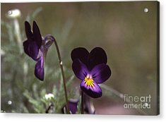 Violets -33 Acrylic Print by Stephen Parker