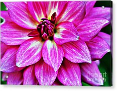 Virbrant Pink Dahlia Acrylic Print