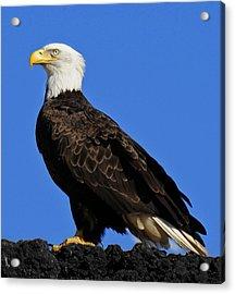 Virginia Bald Eagle Acrylic Print by Lara Ellis