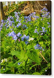 Virginia Bluebells Acrylic Print by Thomas Pettengill