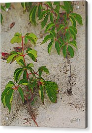 Virginia Creeper At The Beach Acrylic Print