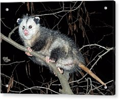 Acrylic Print featuring the photograph Virginia Opossum by William Tanneberger