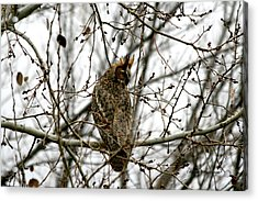 Visiting Owl 2 Acrylic Print by Rebecca Adams