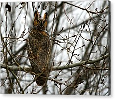 Visiting Owl Acrylic Print by Rebecca Adams