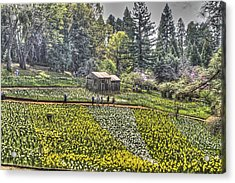 Visitors On Daffodil Hill Acrylic Print