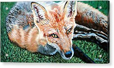 Vixen - Red Fox Acrylic Print