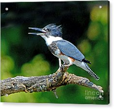 Vocal Belted Kingfisher Acrylic Print by Rodney Campbell