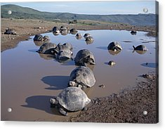 Volcan Alcedo Giant Tortoise Wallowing Acrylic Print by Tui De Roy