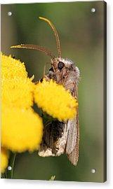 Voluble Dart Moth Acrylic Print by Doris Potter