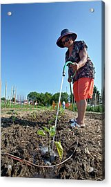 Volunteer In A Community Garden Acrylic Print
