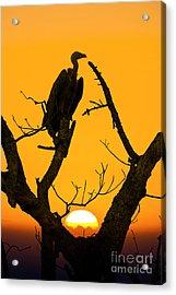 Vulture Acrylic Print