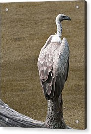 Vulture On Guard Acrylic Print