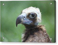 Vulture Portrait Acrylic Print by Alex Sukonkin