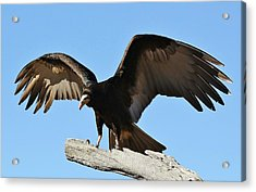 Vulture Wings Acrylic Print by Paulette Thomas