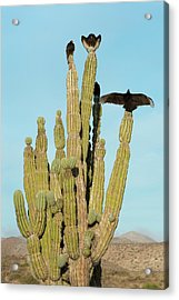 Vultures On A Cactus Acrylic Print by Christopher Swann