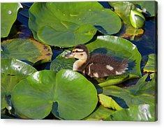 Wa, Juanita Bay Wetland, Mallard Duck Acrylic Print by Jamie and Judy Wild