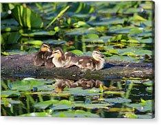 Wa, Juanita Bay Wetland, Mallard Ducks Acrylic Print by Jamie and Judy Wild