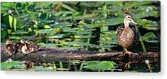 Wa, Juanita Bay Wetland, Mallard Female Acrylic Print by Jamie and Judy Wild