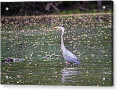 Acrylic Print featuring the photograph Wading Crane by Susan  McMenamin