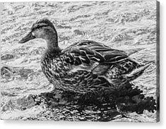 Wading Female Mallard Acrylic Print
