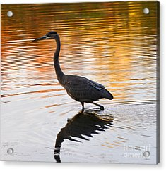 Wading For You Acrylic Print by Judy Wolinsky