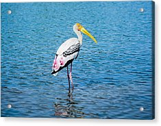 Wading Stork Acrylic Print