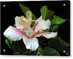 Waitangi White Hibiscus Acrylic Print
