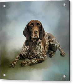 Waiting For A Cue - German Shorthaired Pointer Acrylic Print