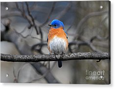 Acrylic Print featuring the photograph Waiting For Spring by Olivia Hardwicke