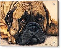 Waiting Bullmastiff Drawing Acrylic Print