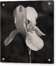 Waiting On The Iris Acrylic Print by Mamie Thornbrue